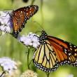 Salviamo la farfalla monarca 3