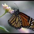 Salviamo la farfalla monarca