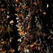 Le farfalle Monarca degli Usa