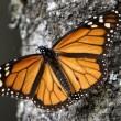 Salviamo la farfalla monarca 2