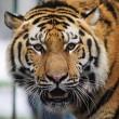 Miska, la tigre siberiana dello zoo ungherese parte per la Francia01