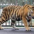 Miska, la tigre siberiana dello zoo ungherese parte per la Francia02
