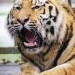 Miska, la tigre siberiana dello zoo ungherese parte per la Francia03