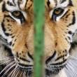 Miska, la tigre siberiana dello zoo ungherese parte per la Francia4
