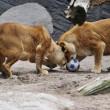 Giocare a calcio con i leoni? Lo zoologo Kevin Richardson è in grado di farlo10