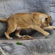 Giocare a calcio con i leoni? Lo zoologo Kevin Richardson è in grado di farlo09