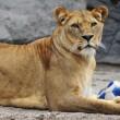 Giocare a calcio con i leoni? Lo zoologo Kevin Richardson è in grado di farlo08