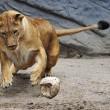 Giocare a calcio con i leoni? Lo zoologo Kevin Richardson è in grado di farlo07