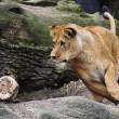 Giocare a calcio con i leoni? Lo zoologo Kevin Richardson è in grado di farlo06