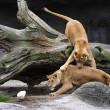 Giocare a calcio con i leoni? Lo zoologo Kevin Richardson è in grado di farlo05