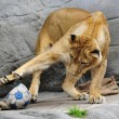 Giocare a calcio con i leoni? Lo zoologo Kevin Richardson è in grado di farlo04