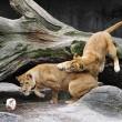 Giocare a calcio con i leoni? Lo zoologo Kevin Richardson è in grado di farlo0