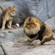 Giocare a calcio con i leoni? Lo zoologo Kevin Richardson è in grado di farlo02