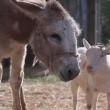 La capra separata dall'asino che stava morendo di fame03