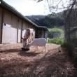 La capra separata dall'asino che stava morendo di fame01