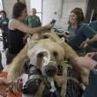 Mango, l'enorme orso bruno verrà operato di ernia del disco05