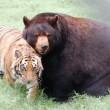 Orso, togre e leone amici inseparabili amici 11