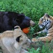 Orso, togre e leone amici inseparabili amici 03