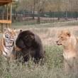 Orso, togre e leone amici inseparabili amici 02