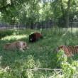 Orso, togre e leone amici inseparabili amici 01