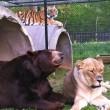Orso, togre e leone amici inseparabili amici 10