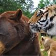 Orso, togre e leone amici inseparabili amici 09