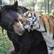 Orso, togre e leone amici inseparabili amici 08
