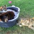 Orso, togre e leone amici inseparabili amici 06