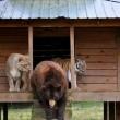 Orso, togre e leone amici inseparabili amici 05