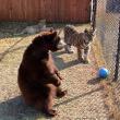 Orso, togre e leone amici inseparabili amici 04