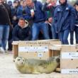 Polonia, tre foche grigie liberate sulla spiaggia di Smolzino05