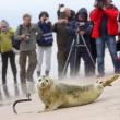 Polonia, tre foche grigie liberate sulla spiaggia di Smolzino04