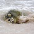Polonia, tre foche grigie liberate sulla spiaggia di Smolzino03