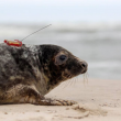 Polonia, tre foche grigie liberate sulla spiaggia di Smolzino02