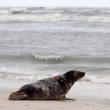 Polonia, tre foche grigie liberate sulla spiaggia di Smolzino01
