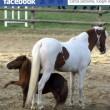 Charlie, pony più piccolo del mondo rapito e restituito per 3mila euro 3
