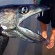 """Pesce cannibale in spiaggia, trovato lo strano esemplare """"lancetta"""" (foto)03"""