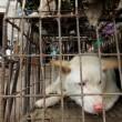 Il 21 giugno i cinesi mangeranno 10mila cani 5