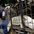 Il 21 giugno i cinesi mangeranno 10mila cani 6