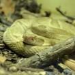 Snake Island, l'isola della vipera d'oro: il serpente più letale al mondo 4