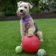 Waffle, il cane che colleziona palloni05