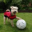 Waffle, il cane che colleziona palloni03