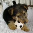 Waffle, il cane che colleziona palloni01