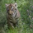 Tigre siberiana: quattro cuccioli nati allo zoo di Novosibirsk FOTO