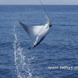 Mante mediterranee avvistate nel Mar Ligure01