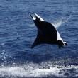 Mante mediterranee avvistate nel Mar Ligure02