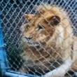 Usa, donna accarezza leone e si ritrova senza mezzo dito01