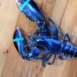 Aragosta blu pescata nel Maine03