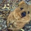 Quokka, animale più felice del mondo, rischia estinzione. Colpa del pane FOTO 5