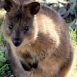 Quokka, animale più felice del mondo, rischia estinzione. Colpa del pane FOTO 4